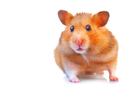 Hamster. Cute pet isolated on a white background