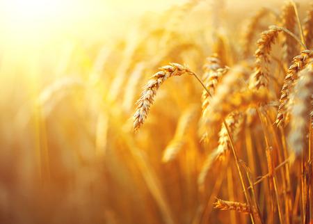 concept: Campo di grano. Spighe di grano dorato del primo piano. Paesaggio rurale sotto la luce del sole splendente
