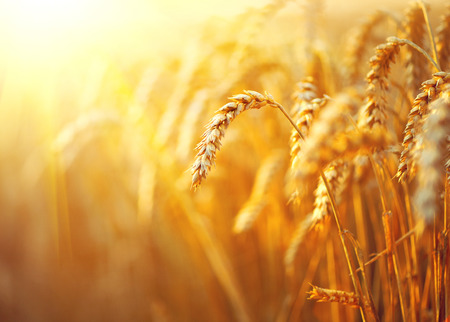 Wheat field. Ears of golden wheat closeup. Rural scenery under shining sunlight