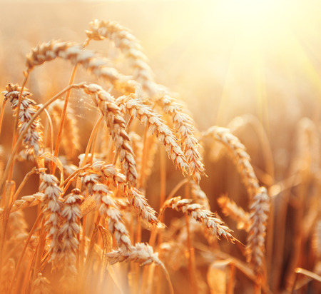 seed: Wheat field. Ears of golden wheat closeup. Rural scenery under shining sunlight Stock Photo