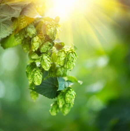 ingredient: Hop plant closeup growing on a hop farm. Beer production ingredient