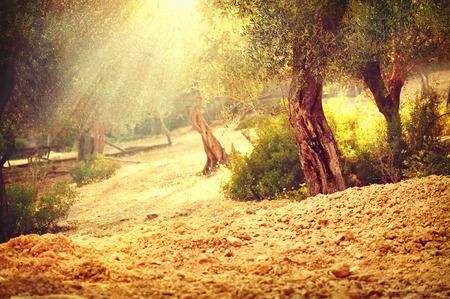 Olijfbomen tuin. Mediterrane olijven boomgaard met oude olijfboom Stockfoto