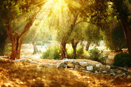 Olivenbäume Garten. Mittelmeer Olivenhain mit alten Olivenbäumen