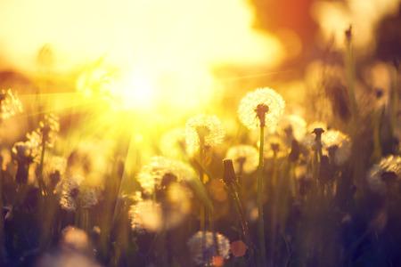 dandelion field: Spring dandelion field over sunset background