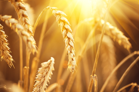 Wheat field. Ears of golden wheat closeup 스톡 콘텐츠
