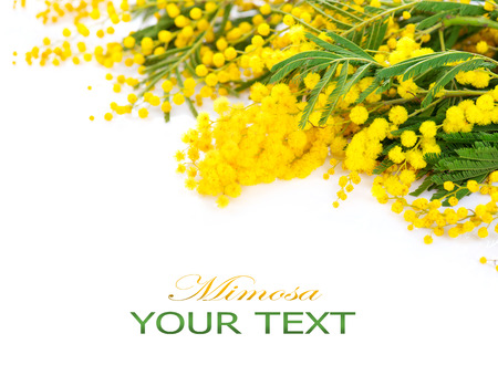 Mimosa spring flowers border isolated on a white background
