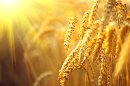 Wheat field. Ears of golden wheat closeup. Rural scenery under shining sunlight Stock Photo
