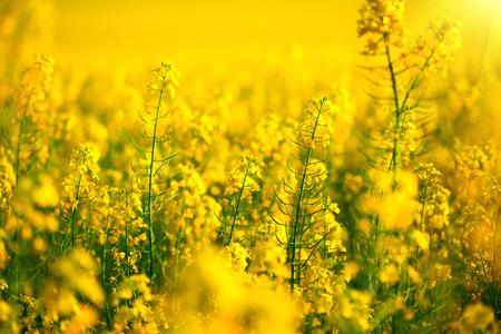 Rapeseed field. Blooming canola flowers closeup Stok Fotoğraf - 53680012