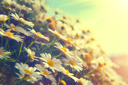 ox eye: Daisy flowers. Beautiful nature scene with blooming chamomiles