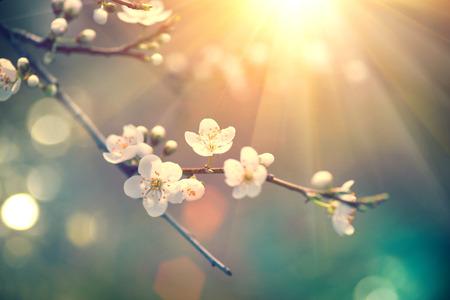 ciruela: escena de la naturaleza hermosa primavera con el árbol en flor Foto de archivo
