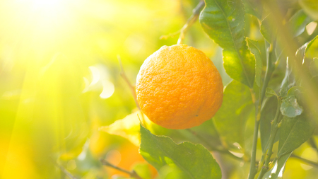 Ripe orange hanging on a tree
