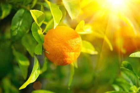 naranjo arbol: naranja madura o mandarina que cuelga en un árbol Foto de archivo