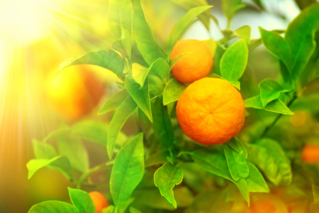 Ripe oranges or tangerines hanging on a tree