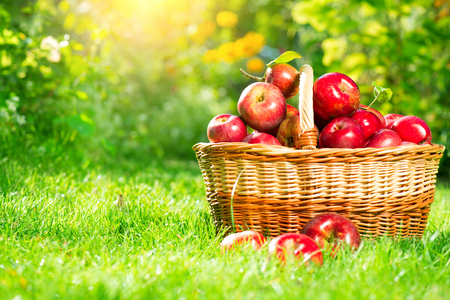 屋外のバスケットで有機栽培のリンゴ。リンゴの果樹園。収穫シーズン コンセプト
