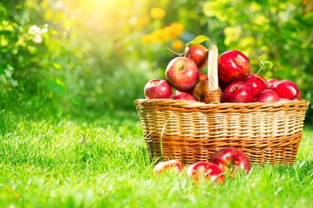 Biologische appels in een mand buiten. Appelboomgaard. Oogstseizoen begrip