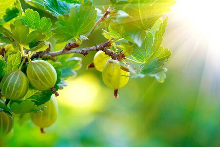 gooseberry: Grosella. grosellas org�nicas frescas y maduras que crecen en el jard�n Foto de archivo