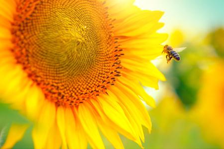 Tournesol. Belles tournesols en fleurs sur le terrain Banque d'images - 54596678