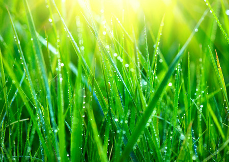 Grass. Fresh green grass with dew drops closeup. Abstract nature background