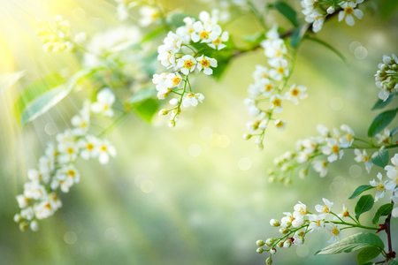 Spring blossom nature background. Blooming tree