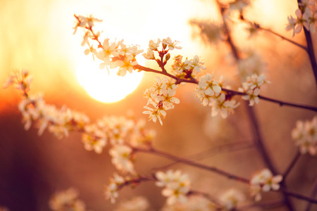Spring blossom background. Beautiful nature scene with blooming tree and sun flare Stock Photo