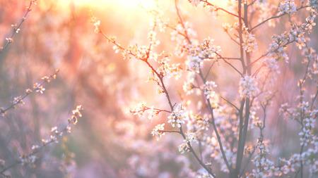 春の花の背景。満開の木と太陽の美しい自然場面フレアします。 写真素材