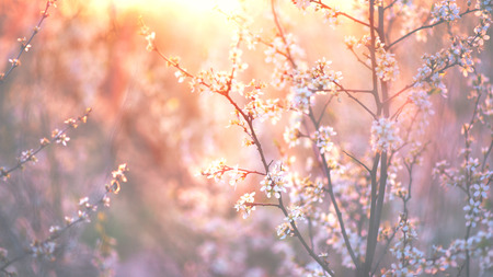 blossoming yellow flower tree: Spring blossom background. Beautiful nature scene with blooming tree and sun flare Stock Photo