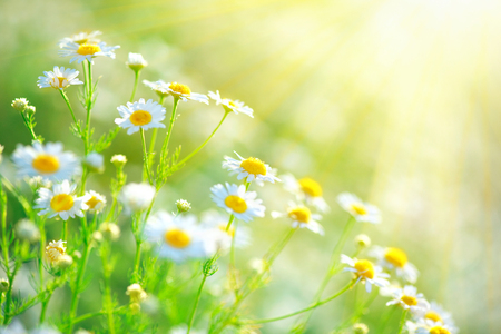 Beautiful nature scene with blooming chamomiles in sun flares