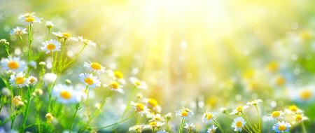Krásná příroda scéna s kvetoucí chamomiles ve slunečních erupcí
