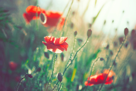 Beautiful poppy flowers blooming on the field Stock Photo