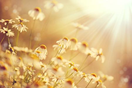 iluminado a contraluz: escena de belleza natural con la floración manzanilla en las llamaradas del sol Foto de archivo