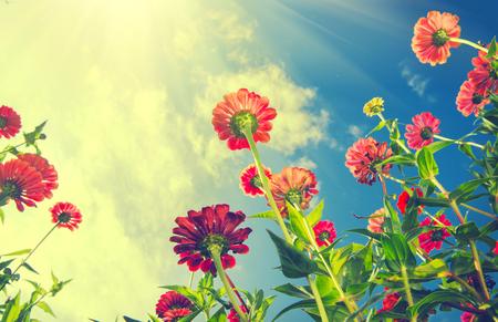 Autumn flowers over blue sky. Zinnia flower Foto de archivo
