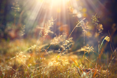 Beautiful nature background. Autumn grass with morning dew in sun light closeup