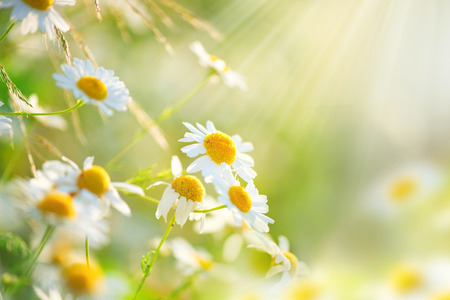 Chamomile field flowers border. Beautiful nature scene with blooming medical chamomilles Archivio Fotografico
