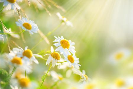 Kamillegebied bloemen grens. Prachtige natuur scène met bloeiende medische chamomilles