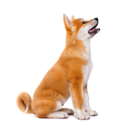Akita Inu purebred puppy dog isolated on white background. Shiba inu