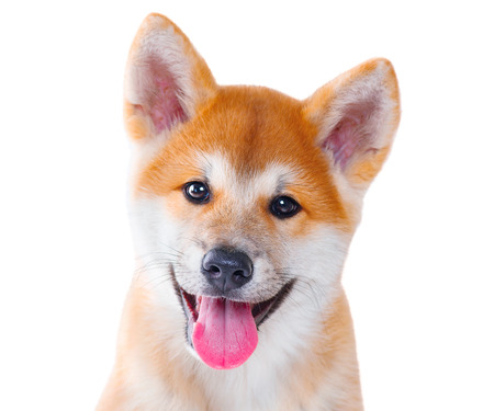 domestic: Akita Inu purebred puppy dog isolated on white background. Shiba inu