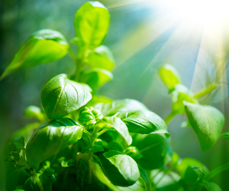 Fresh basil leaves. Closeup of basil growing in a garden Stock Photo