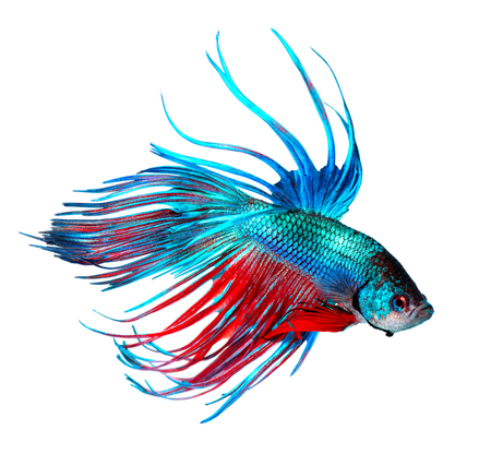 domestic: Betta fish. Colorful Dragon fish isolated on white. Aquarium