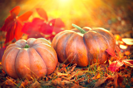 Thanksgiving day background. Orange pumpkins over bright autumnal nature background
