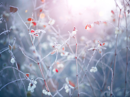 cold: Winter nature background. Frozen branch with leaves closeup Stock Photo