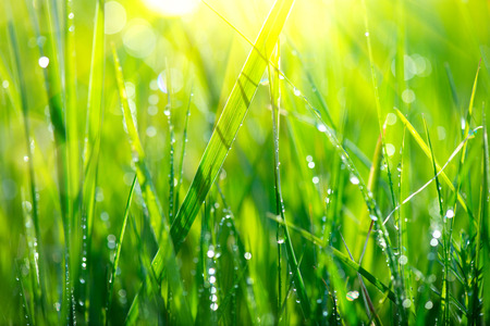 Grass. Fresh green spring grass with dew drops closeup Stock Photo - 66823156