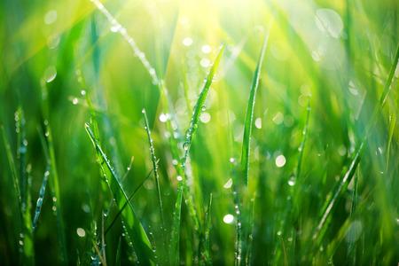 Grass. Fresh green spring grass with dew drops closeup