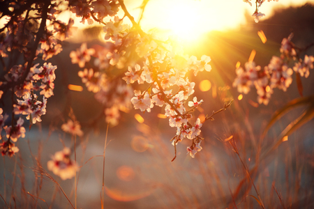 Spring blossom background. Beautiful nature scene with blooming tree and sun flare. Sunny day. Spring flowers