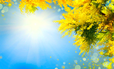 Mimosa. Spring flowers Easter background. Blooming mimosa tree over blue sky
