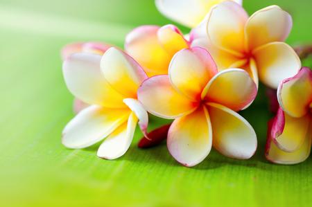 decoration: Frangipani flower closeup. Exotic plumeria spa flowers on green leaf tropical background