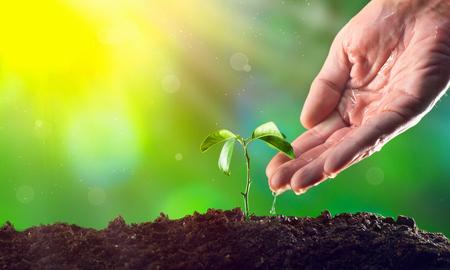 若い植物に水をまく農夫の手。若い植物の成長する朝の光
