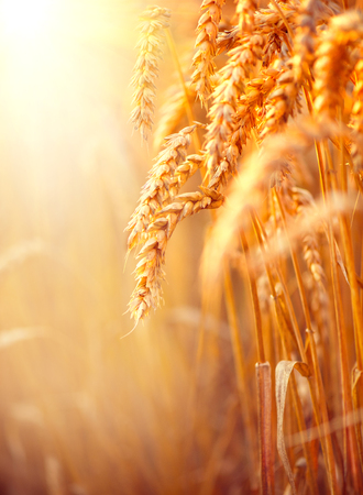 seed: Wheat field. Ears of golden wheat closeup. Harvest concept