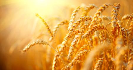 Weizenfeld. Ohren der goldenen Weizen Nahaufnahme. Ernte-Konzept Standard-Bild - 75239845