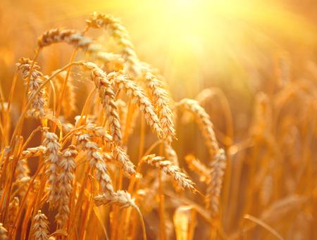Weizenfeld. Ohren der goldenen Weizen Nahaufnahme. Ernte-Konzept Standard-Bild - 75239847