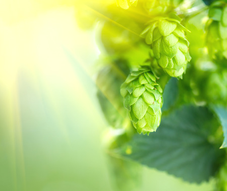 Hop plant close up growing on a hop farm. Fresh and ripe hops Stock Photo